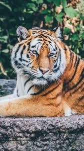 Animal wallpaper, Tiger wallpaper iphone
