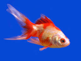 fantail fish. Contemporary Fantail Picture Of A Goldfish Intended Fantail Fish F