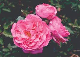 Our 16 Favorite Fragrant Roses  Flower MagazineFragrant Rose Plants