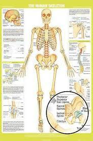 Human Bone Chart Human Skeleton Chart Poster 24x36 School Education 34331 Ebay