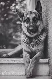 black and white german shepherd photography. Simple White My GSD Looks Almost Just Like That Except She Is More Black And Has A Brown   German Shepherd DogsGerman PaintingWhite  And Black White Photography