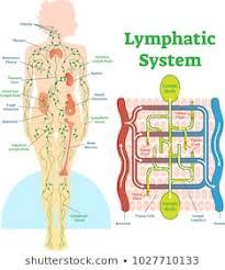 Tlymphatic System Stock Vectors Images Vector Art