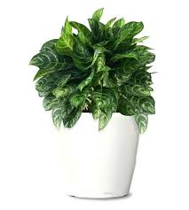 small plants for office. Small Plants For Office. Indoor Ornamental Plant Calypso Evergreen Web Buy . Office