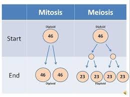 Mitosis Vs Meiosis Chart Mitosis Vs Meiosis By Pink Petunia Infogram