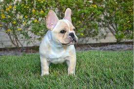 french bulldog full grown size. French Bulldog Standing In Grass Facing Forward Head Turned Right On Full Grown Size