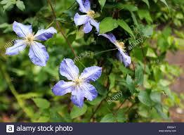 Light Blue Clematis Liana Stock Photo 72586387 Alamy