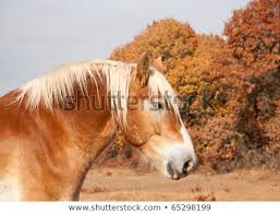 draft horse head profile. Wonderful Draft Profile Of A Beautiful Blond Belgian Draft Horse Against Muted Color Late  Autumn Trees To Horse Head