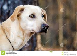 yellow lab with blue eyes. Modren Eyes Download Yellow Labrador Mixed Breed Dog With One Blue Eye Stock Image   Of Adoption Lab Eyes G