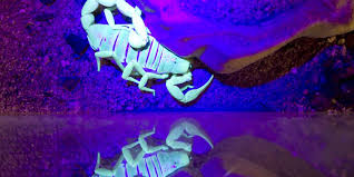 Why Do Scorpions Glow Under Uv Light Why Do Scorpions Glow Under Ultraviolet Light