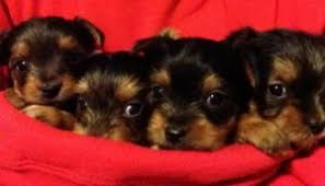 abilene tx cute yorkie puppies