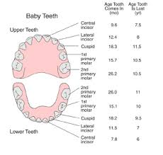 Teeth Age Chart The Eruption And Shedding Of The Teeth Jack B Share Dds