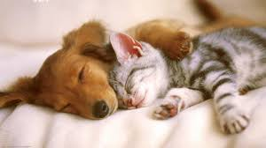 dog and cat sleeping together.  Sleeping Cat And Dog Together Sleep Well If They Are Friends On Sleeping N