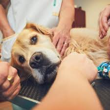 Treatment Of Lymphoma In Dogs Life Expectancy
