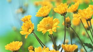 Beautiful Yellow Flowers Wallpaper Hd