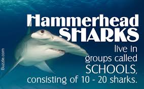 hammerhead shark facts for kids. Simple Hammerhead On Hammerhead Shark Facts For Kids D