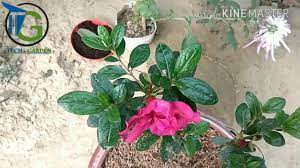 How to plant Azalea : Azalea Care : in hindi / urdu - YouTube