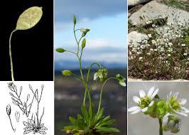 Draba verna L. - Portale sulla flora delle Saline di Cervia