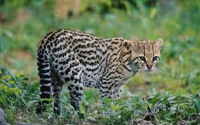 ocelot size world wildlife elusive animals rough guides
