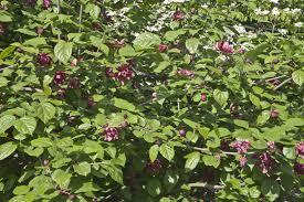 Three Evergreen Ornamental Shrubs  Nanau0027s Garden GateShrub With Pink Flowers
