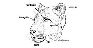 lioness face drawing. Simple Lioness Howtodrawbigcatsheaddetails And Lioness Face Drawing