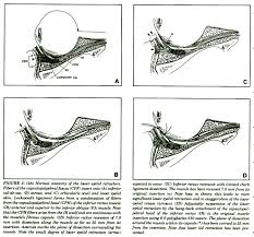 suspensory ligament of lockwood. figure 2: (2a) normal anatomy of the lower eyelid retractors. fibers suspensory ligament lockwood e