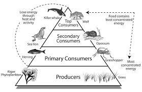 food web pyramid food chains link the creatures of coastal ecology beyondbones
