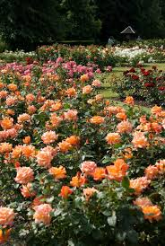 peach roses in the rose garden
