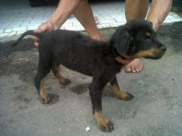 Rottweiler Size And Weight Chart Rottweiler 5 Months Old Healthy Weight And Height A Love