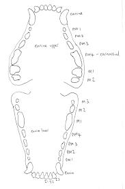 Pfizer Canine Dental Chart Feline Dental Chart Pdf Related Keywords Suggestions