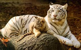 baby white tigers wallpaper. Delighful Wallpaper Baby White Tiger Wallpapers Wallpaper Inside Tigers E