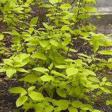 garden glow dogwood overview garden glow dogwood leaves