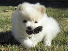 free teacup pomeranian puppies. Exellent Teacup Affectionate Teacup Pomeranian Puppy For Free Adoption To Free Teacup Pomeranian Puppies I