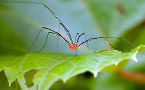 Image result for granddaddy long leg spider pictures