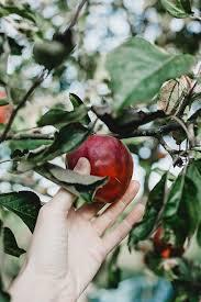 pomme dans un arbre