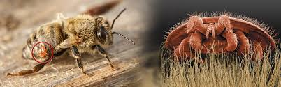 Tidewater Beekeepers Association Varroa Mites And Pest Control