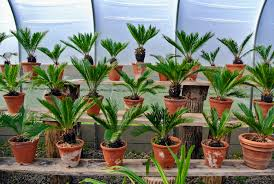 They are popular houseplants  pretty foliage and easy to care for, but  keep them away from pets and young children, ...