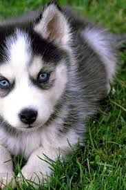 really cute baby husky puppies with blue eyes. Interesting Blue Furry Friends  Pinterest Husky Puppy Blue Eyes And Animal For Really Cute Baby Puppies With Eyes