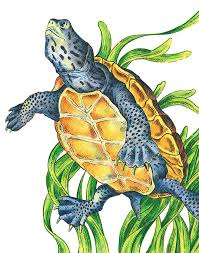 Small Picture 8 best Turtle drawings images on Pinterest Pencil sketching