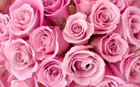 cute pink roses wallpaper