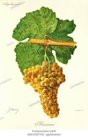 Marsanne grape Stock Photos and Images | agefotostock