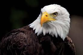 Small Picture bald eagle Kids Britannica Kids Homework Help