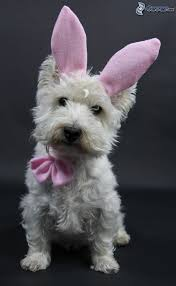 westie small white puppy long ears bow tie