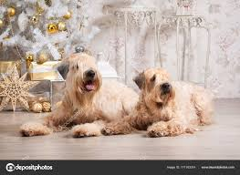 Pictures Wheaten Terrier Haircut Dog Irish Soft Coated