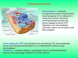 Общее строение животной клетки Цитология Реферат доклад  Строение клетки 5 класс биология реферат Строение клетки 5 класс биология реферат