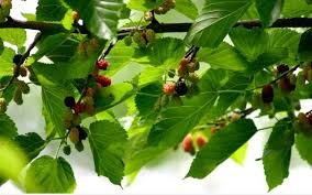Mulberry Trees  Some Little Crum CreekMulberry Tree No Fruit