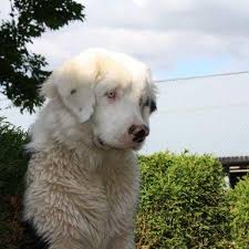 white bernese mountain dog. Brilliant Mountain This Is An Allwhite Bernese Mountain Dog  Very Rare On His Breed Intended White Dog Pinterest