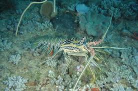 Lobsters Rock Lobsters And Crayfish Western Australian Museum