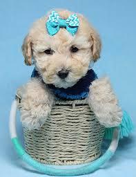suzuki toy poodle puppy