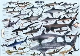 Shark Size Chart Shark Chart Shark Species Of Sharks Marine Biology