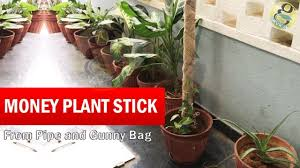 how to make money plant climber stick money plant stick grow faster from ny bag